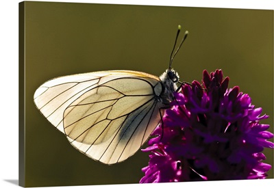 Italy, Umbria, Monti Sibillini National Park, Preci, Butterfly on orchid
