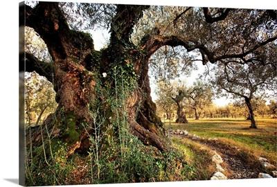 Italy, Umbria, Perugia district, Olive tree near Giano dell'Umbria village