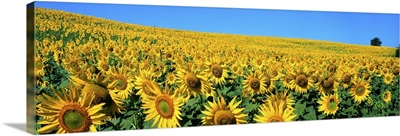 Italy, Umbria, Sunflower field
