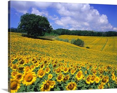 Italy, Umbria, Sunflower field, Helianthus