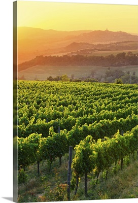 Italy, Umbria, Todi, Vineyards near Todi at sunset