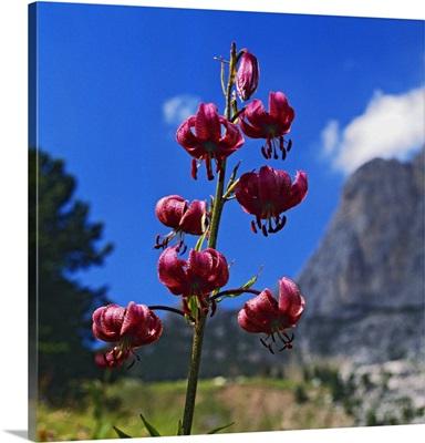 Italy, Veneto, Alps, Dolomites, Belluno district, Alto Agordino, Arabba, Lily