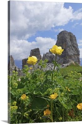 Italy, Veneto, Alps, Dolomites, Belluno district, Cadore, Buttercup