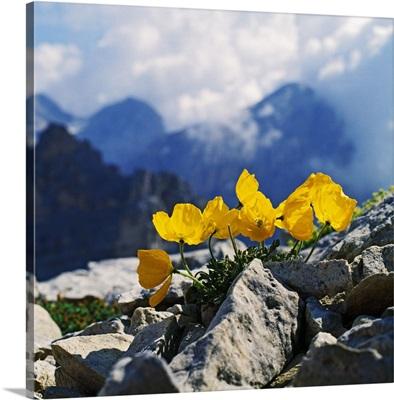 Italy, Veneto, Alps, Dolomites, Belluno district, Cadore, poppy