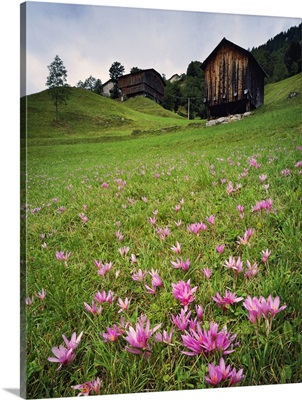 Italy, Veneto, Alps, Dolomites, Meadow with crocus in autumn