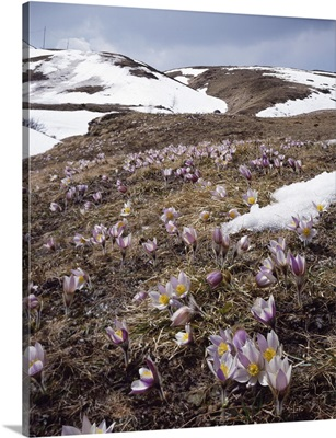 Italy, Veneto, Alps, Dolomites, Selva di Cadore, Giau pass, Pulsatilla vernalis