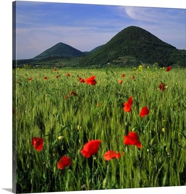 Italy, Veneto, Colli Euganei, Wheat field and Mount Cinto