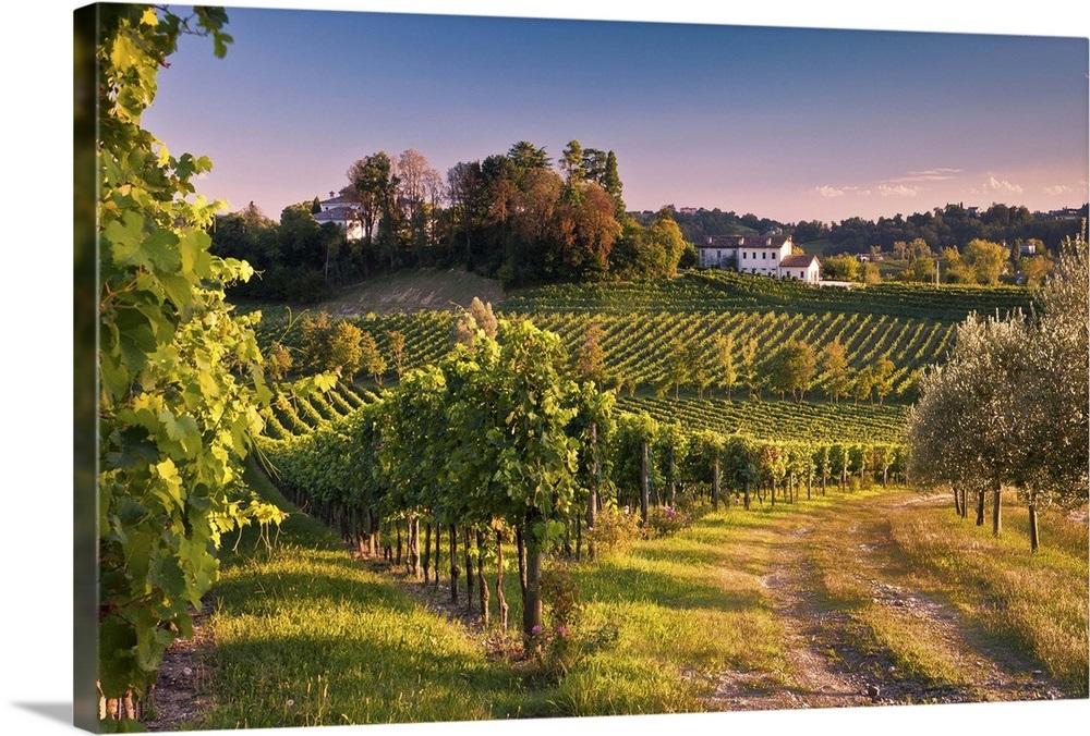 Italy, Veneto, Conegliano, Ogliano locality, Masottina winery, vineyard