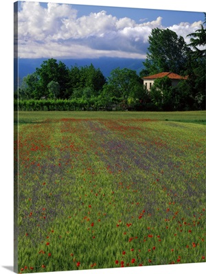 Italy, Veneto, Corn field and poppies