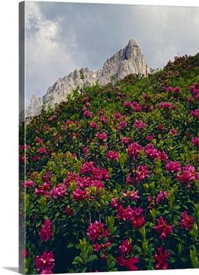 Italy, Veneto, Dolomites, Cadore, Giau pass, rhododendron ferrugineum