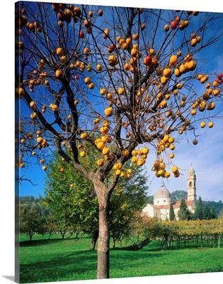 Italy, Veneto, Marano Valpolicella, persimmon tree