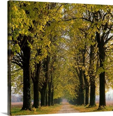 Italy, Veneto, Maser, Villa Barbaro, ora Volpi, tree lined road of lime-trees