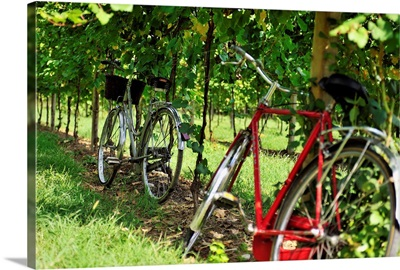 Italy, Veneto, Mediterranean area, Treviso district, Iris Vigneti winery, vineyard