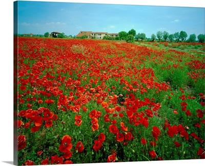 Italy, Veneto, Polesine area, poppies fields