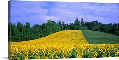 Italy, Veneto, sunflowers
