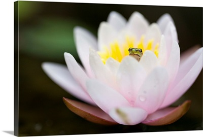 Italy, Veneto, Tree frog  on waterlily