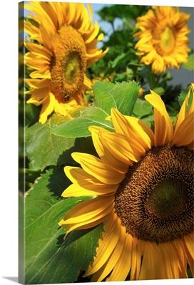 Italy, Venice, Sunflowers