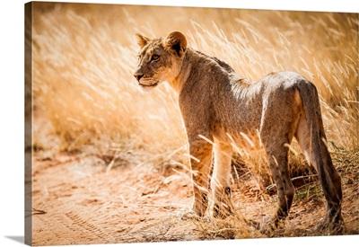 Kenya, Central, Samburu National Reserve, Young Lonely Lion (Panthera Leo)