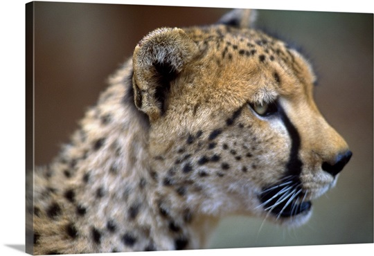 Kenya, Lewa Wildlife Conservancy (private reserve), cheetah Wall Art ...
