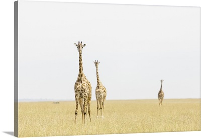 Kenya, Rift Valley, Masai Mara National Park, Giraffes