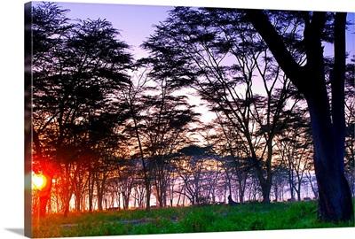 Kenya, Rift Valley, Nakuru Lake Natural Park, acacias at dawn