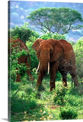 Kenya, Tsavo National Park, African Elephants