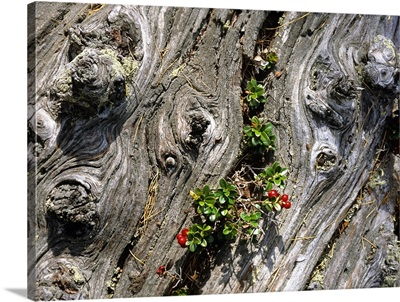 Larch stump and bilberry plant