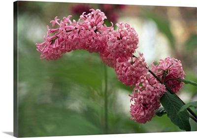 Lilac (Syringa Prestonia)