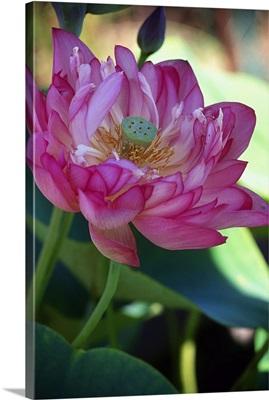 Lotus flower (Rosea Plena)