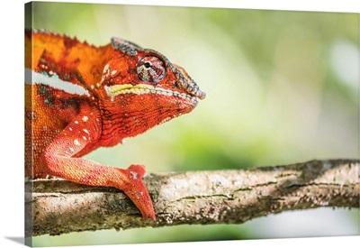 Madagascar, Toamasina, Andasibe, Endemic, Red Panther Chameleon (Furcifer Pardalis)
