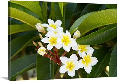 Madagascar, Toliara, Frangipani flower