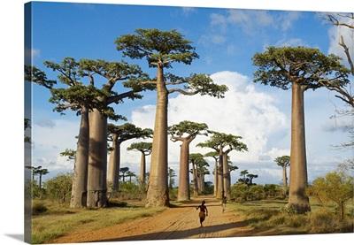 Madagascar, Toliara, Morondava, Baobab trees