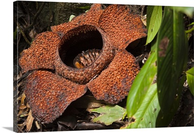 Malaysia, Sabah, Borneo, Kota Kinabalu, Rafflesia Keithii Flower