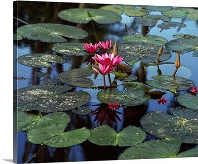 Malaysia, Southeast Asia, Tropics, Nymphea, tropical flower