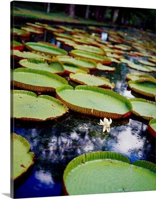 Mauritius, North Coast, Pamplemousse botanical garden