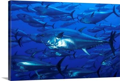 Mediterranean sea, bluefin tuna (Thunnus Thynnus)