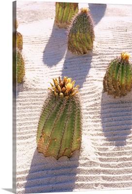 Mexico, Baja California, Cabo San Jose village, Barrel cactus