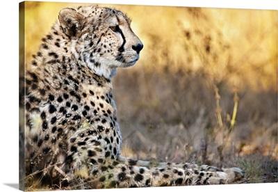 Namibia, Karas, Namib Desert, Afri Cat Foundation, cheetah