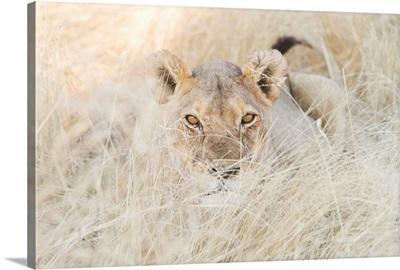 Namibia, Kunene, Etosha National Park, Lion In The Bush