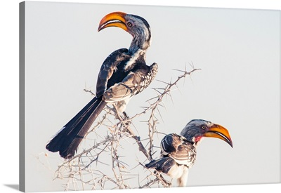 Namibia, Kunene, Etosha National Park, Southern Yellow-Billed Hornbill
