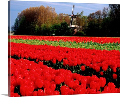 Netherlands, Tulip field and windmill