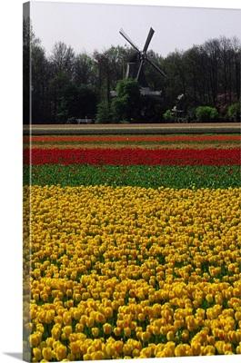 Netherlands, Tulips