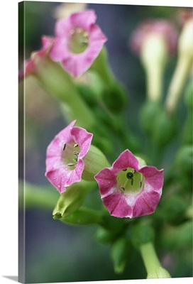 Nicotiana flower