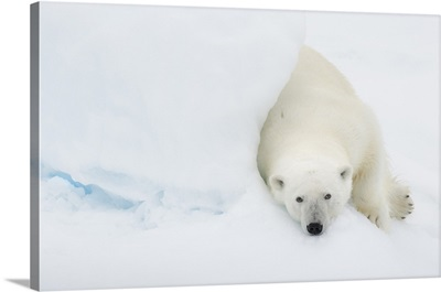 Norway, Svalbard Islands, Longyearbyen, Polar Bear
