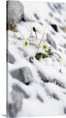 Norway, Svalbard Islands, Scandinavia, Spitsbergen, Arctic Poppy