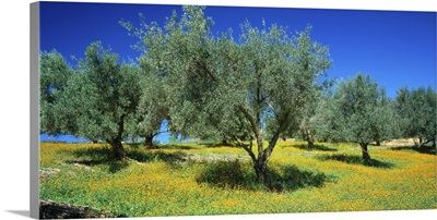Olive trees, Olive yard and meadow