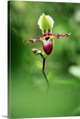 Orchid (Paphiopedilum victoriae marie)
