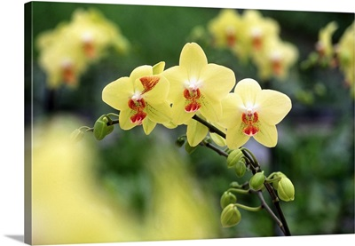 Orchid Phalenopsis (Brother Goldsmith)