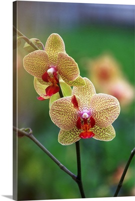 Orchid (Phalenopsis Brother Lancer)