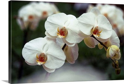 Orchid (Phalenopsis Perth)